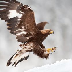 Avian Bird