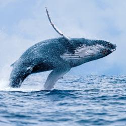 Cetacean Transdermal