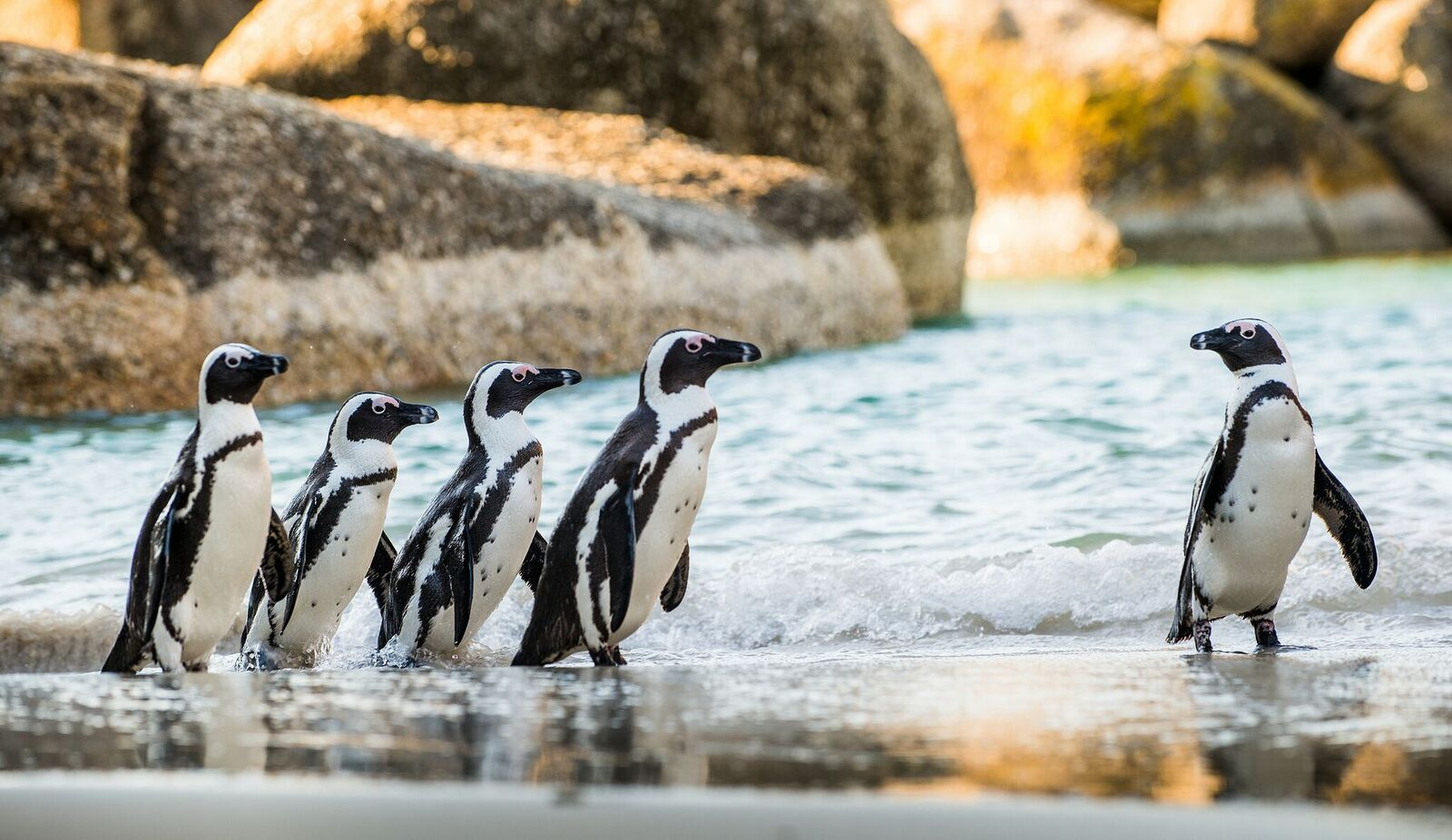 African Penguin Sandy Beach