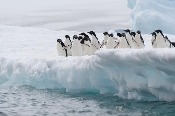 Adelie Penguins Iceberg Antarctica