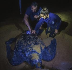 Wildlife Computers SPLASH Tags on Turtles