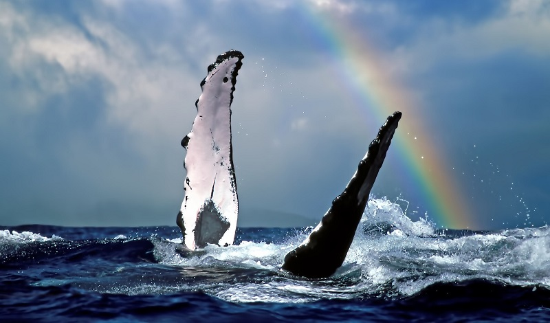Humpback Whale Fins with Rainbow