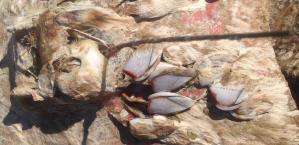 Badly Biofouled Turtle Satellite Tag