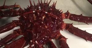 MiniPATs and mrPATs track movements of porcupine crab