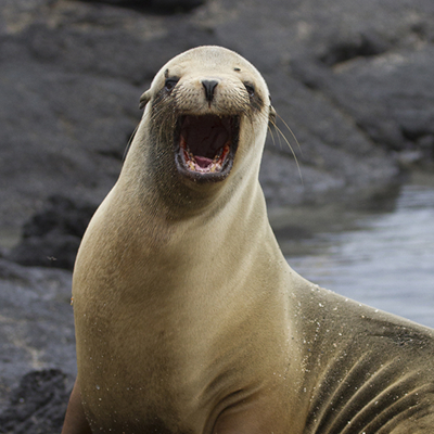 Pinniped