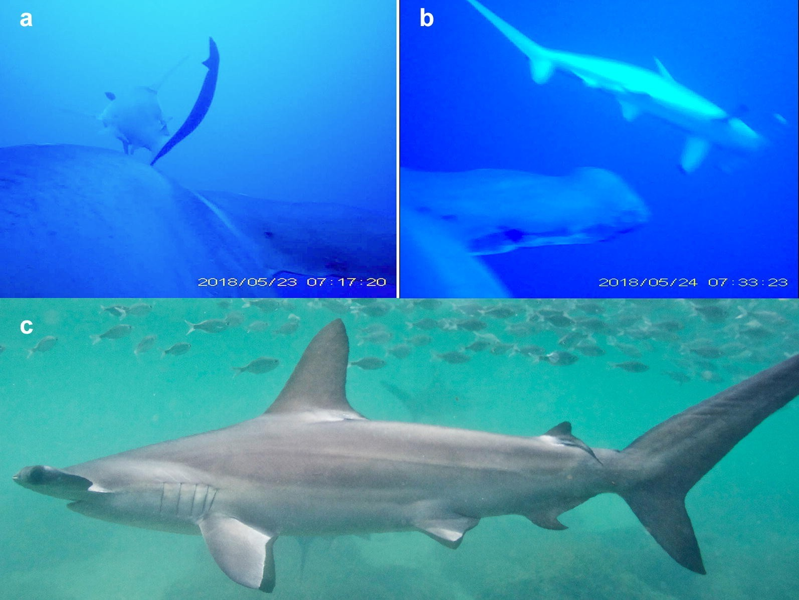 Scalloped Hammerhead Sharks Swim on Their Side