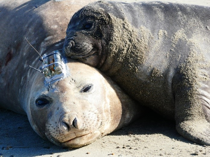 Scout-CTD on Elephant Seal