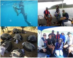 Sea Turtle Tagging MITT