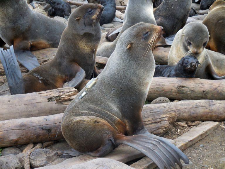 Researchers tag female northern fur seals
