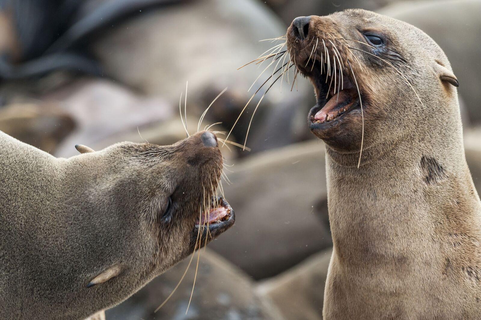 African Seals