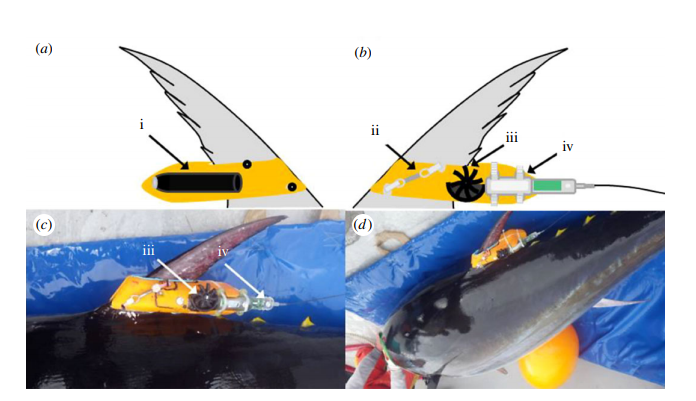 Direct measurement of swimming and diving kinematics of giant Atlantic bluefin tuna (Thunnus thynnus)