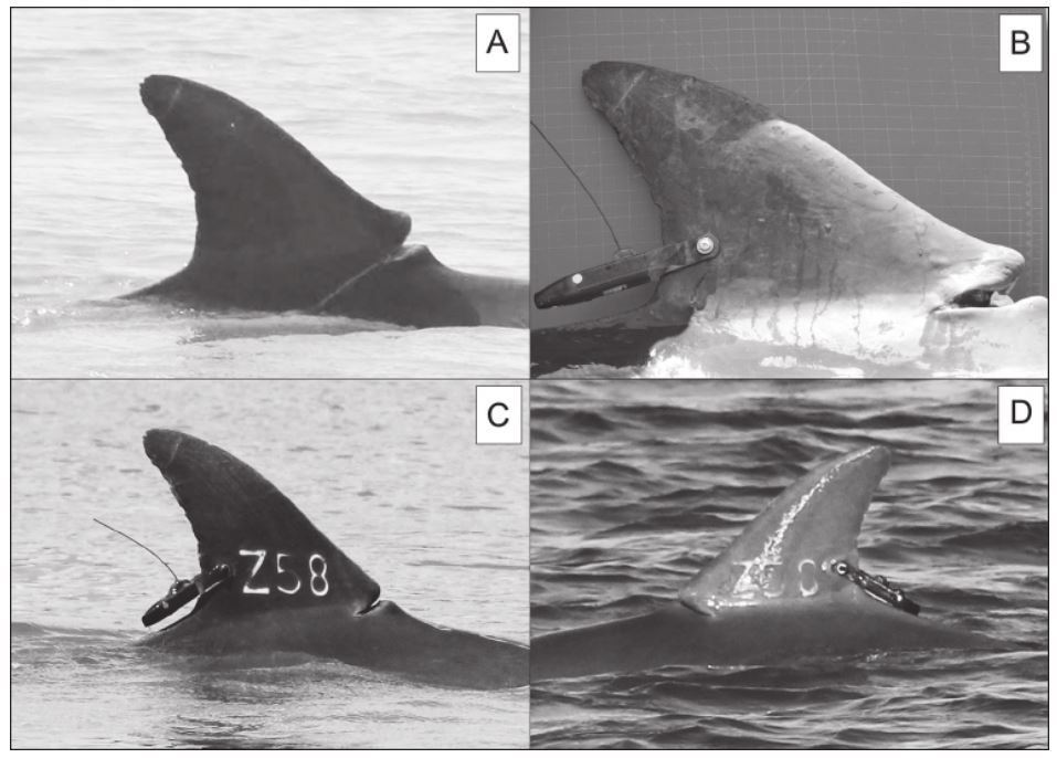 Ranging Patterns and Exposure to Cumulative Stressors of a Tursiops truncates in GA