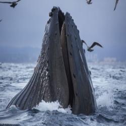 Cetacean LIMPET
