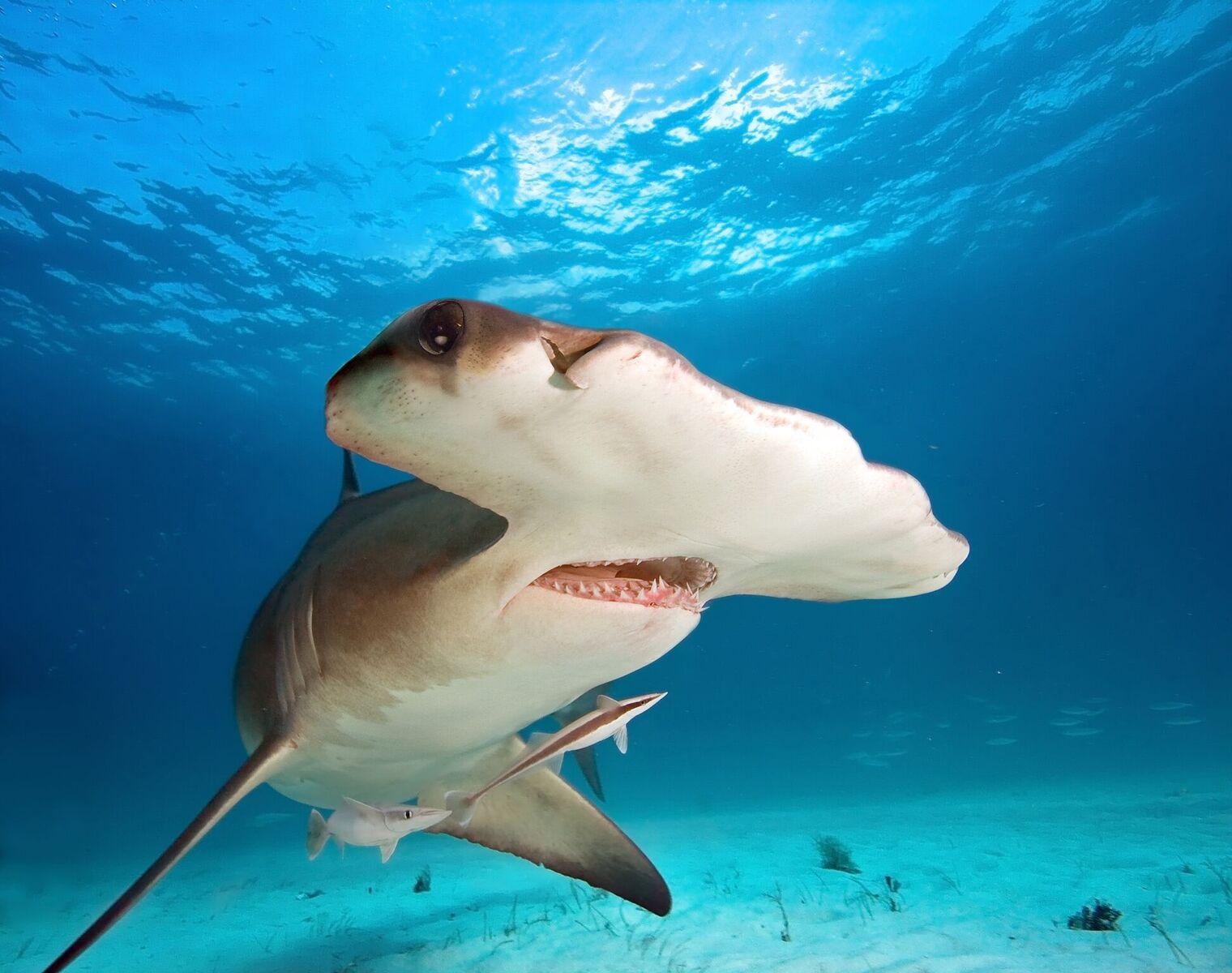 Hammerhead Underwater