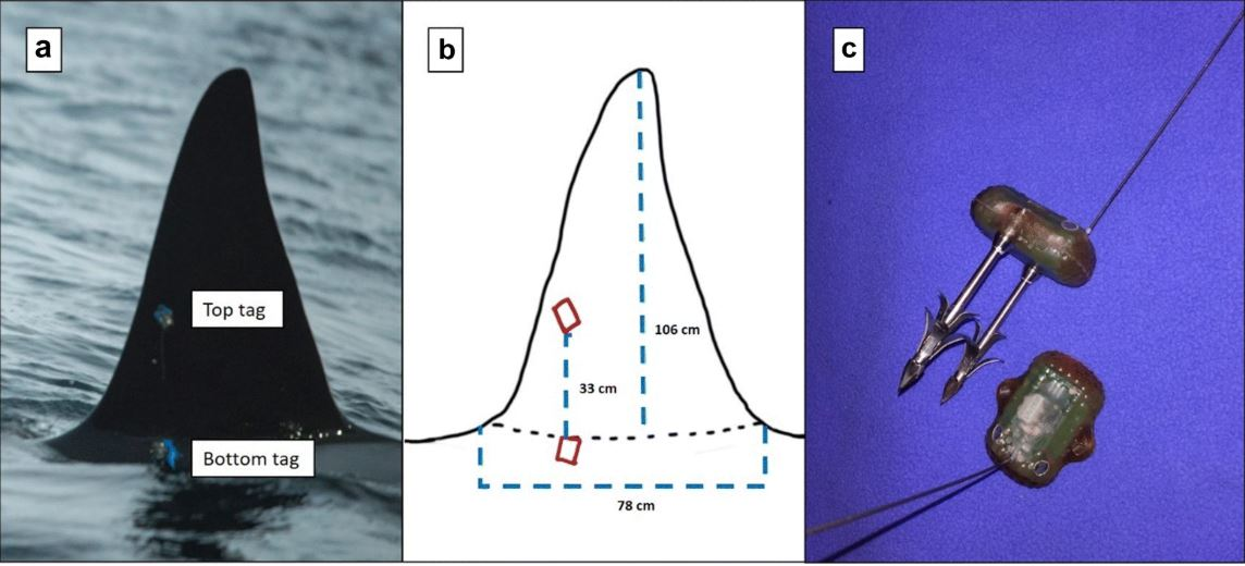 Implications of tag positioning and performance on the analysis of cetacean movement