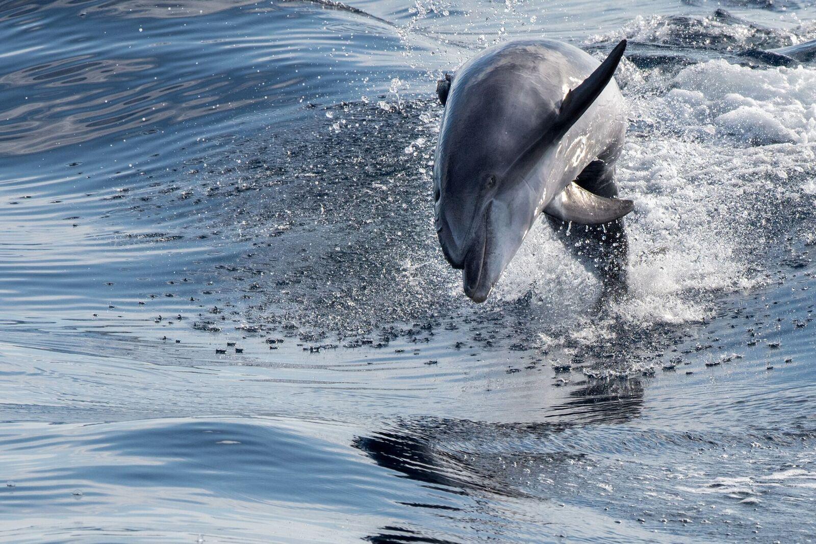 Tursiop Dolphin